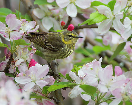 Cape May in the Blossoms 2  by Timothy McIntyre