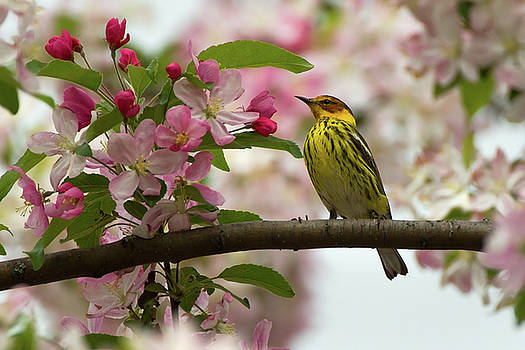 Cape May in the Blossoms  by Timothy McIntyre