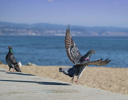 Capitola Pigeon by Joyce Dickens