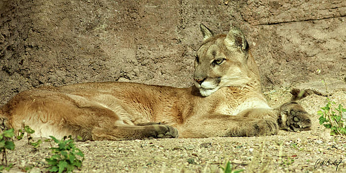 Captive Cougar by Phill Doherty