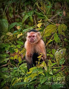 Capuchin by Hanny Heim