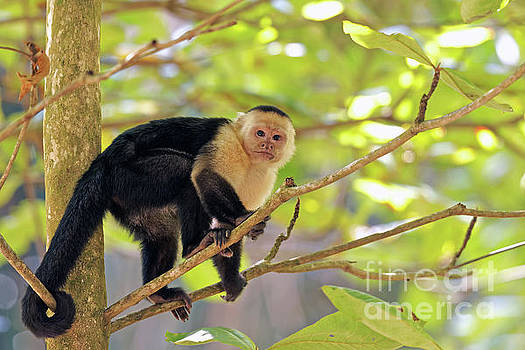 Capuchin Stare by Natural Focal Point Photography