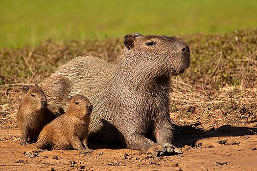 Capybara Family Enjoying Sunset by Aivar Mikko