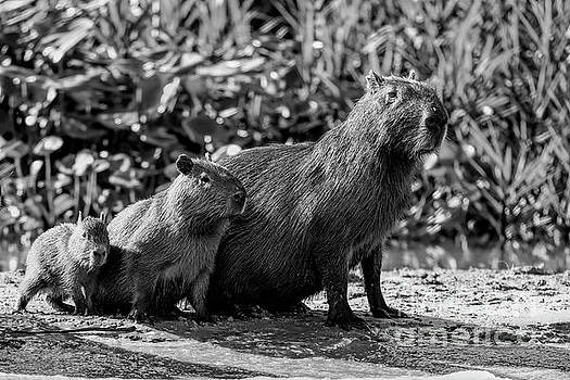 Capybara family by Pravine Chester