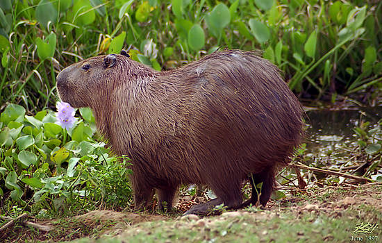Capybara by Kenneth Hadlock