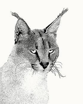 Caracal Wild Cat Portrait by Scotch Macaskill