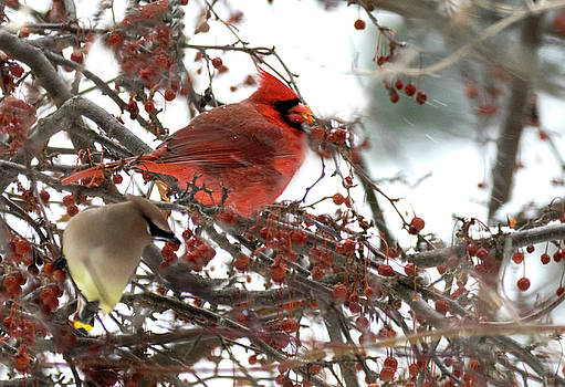 Cardinal and Cedar Wax Wing Feeding On Crab Apples by Betty Pauwels