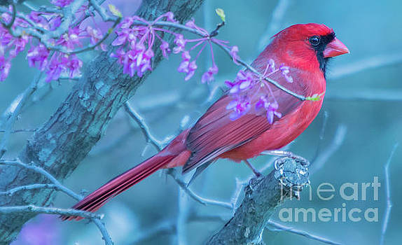Cardinal beauty by Diane Friend