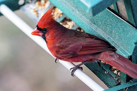 Cardinal Close Up by Darryl Hendricks
