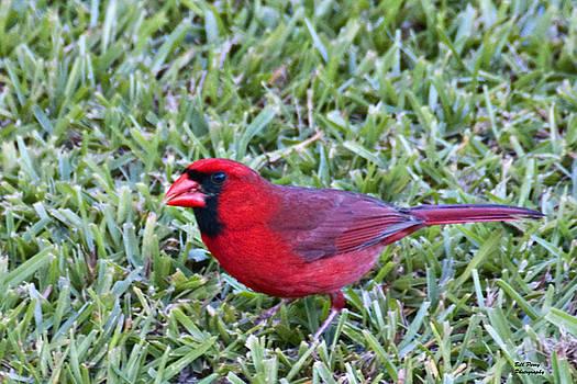 Cardinal feeding by Bill Perry