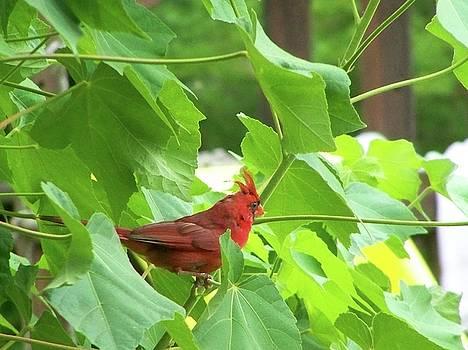 Cardinal In Bush by Susan Anderson