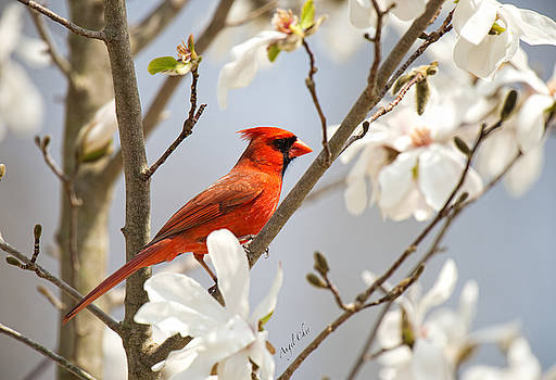 Cardinal In Magnolia by Angel Cher