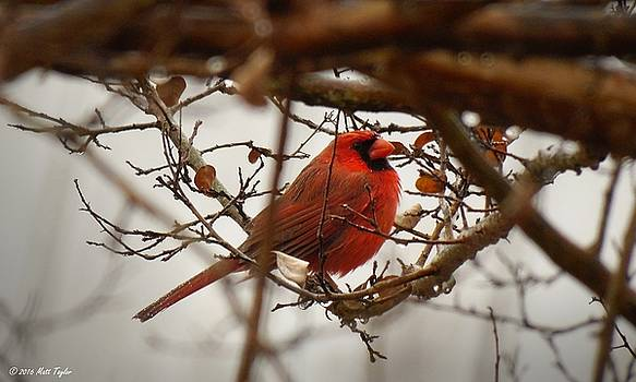 Cardinal In Rainy Mild December Weather by Matt Taylor