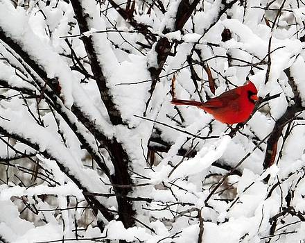 Colette Merrill - Cardinal in snow