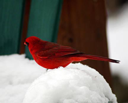 Clayton Bruster - Cardinal in Snow II