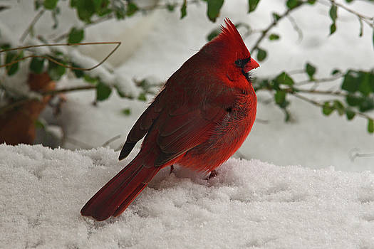 Cardinal in Snow by Vonda Barnett