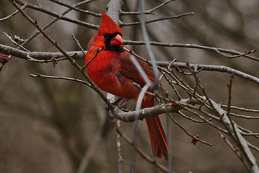 Cardinal in Spring by Brad Chambers