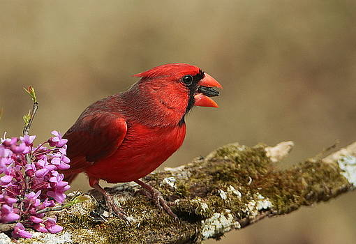 Cardinal in Spring by Sheila Brown