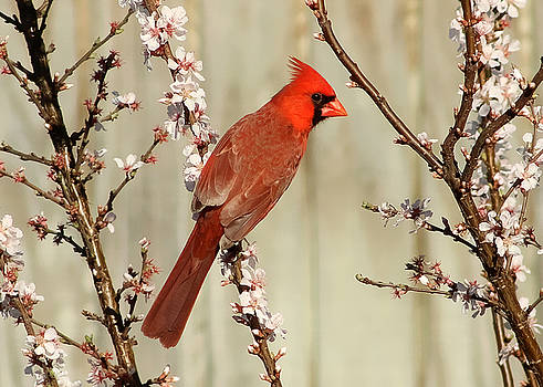 Cardinal In the Cherry Blossoms by TnBackroadsPhotos