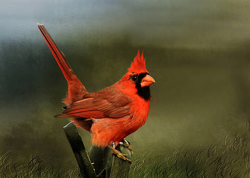 Cardinal in the Meadow by TnBackroadsPhotos