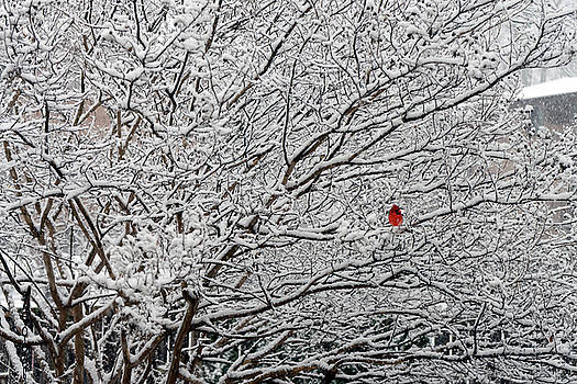 Cardinal in the Snow by David Posey