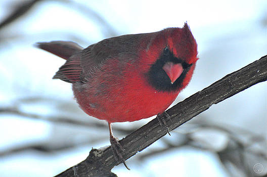 Cardinal in the snow II by Healing Woman