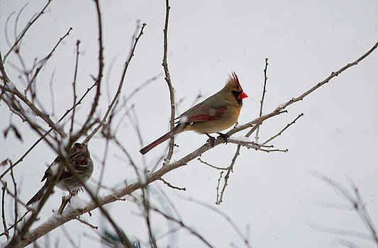 Cardinal in the Snow by Jeff Severson