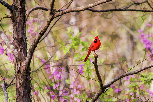 Lisa Lemmons-Powers - Cardinal And Redbuds in the Spring