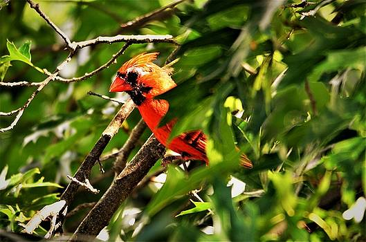 Cardinal in Tree by CK Brown