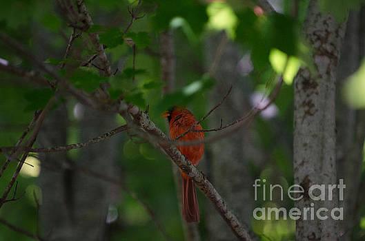 Dale Powell - Cardinal in Tree