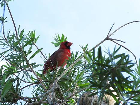 Cardinal in Tree by Zachary  Baty