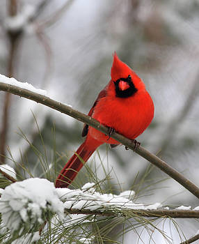 Cardinal In Winter by Gary Michael Flanagan