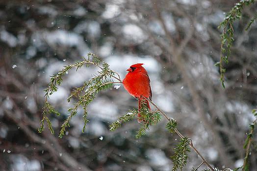 Cardinal in Winter by Patricia Gapske