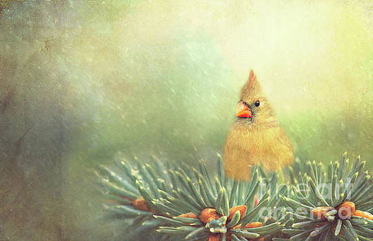 Cardinal on Evergreen Branch by Pam  Holdsworth