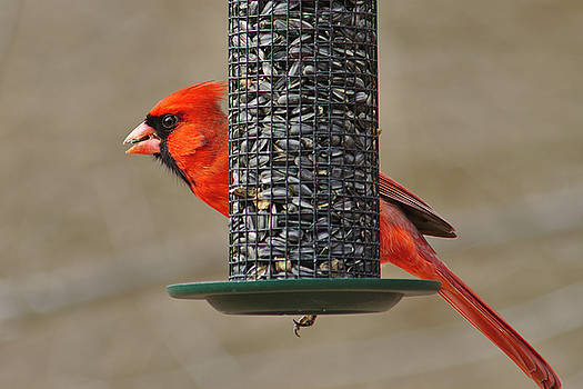 Cardinal on feeder by Brad Chambers