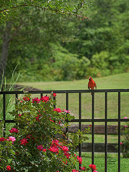 Cardinal on Fence by Jim Ziemer