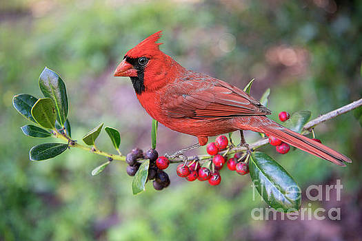 Cardinal on Holly Branch by Bonnie Barry