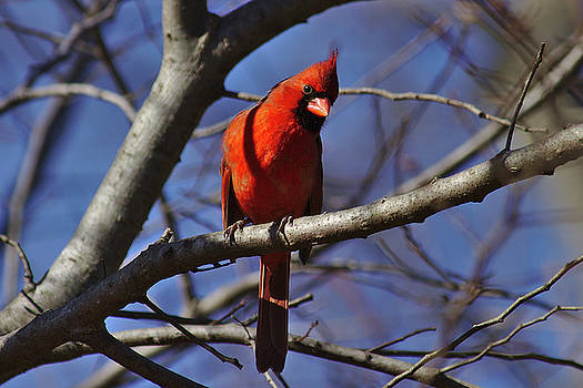 Cardinal on watch by Brad Chambers