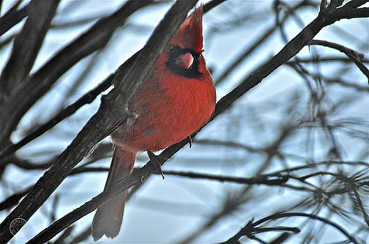 Cardinal peering through the snow by Healing Woman