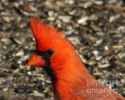 Cardinal Portrait by Roger Becker