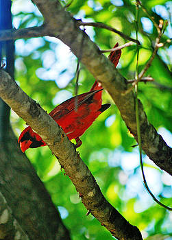 Cardinal Red by Adele Moscaritolo