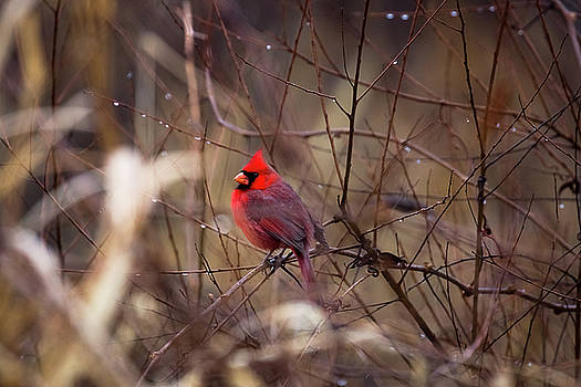 Cardinal - Male Red Bird Rests Among Raindrops by Sean Ramsey