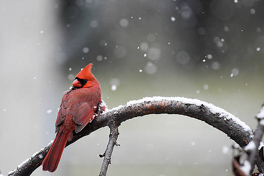 Cardinal Snowfall by Gary Wightman