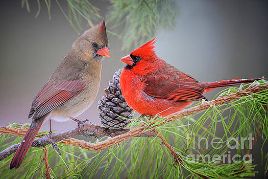 Cardinals in Pine by Bonnie Barry