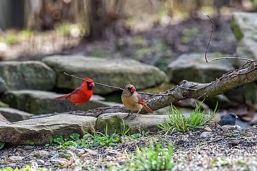 Cardinals  by Joseph Caban