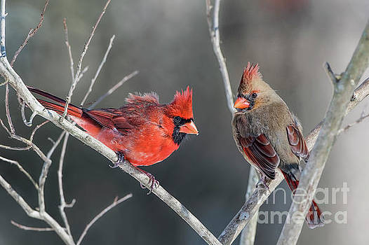 Cardinals on a Gray Day by Bonnie Barry