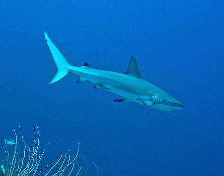 Caribbean Reef Shark on a coral reef by Amy McDaniel