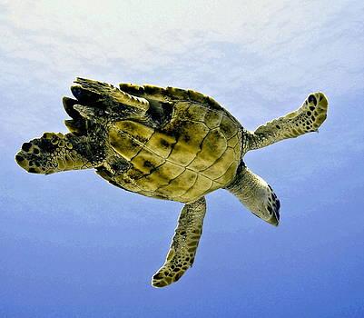 Caribbean Sea Turtle by Amy McDaniel