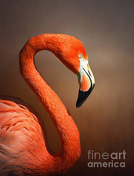 Caribean flamingo portrait by Johan Swanepoel