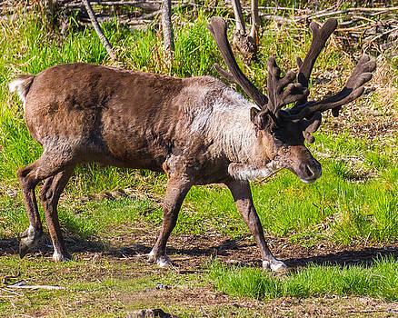 Allan Levin - Caribou Antlers in Velvet